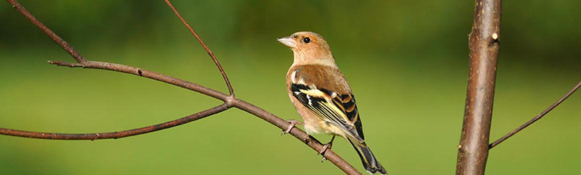 Depuis 2009 Chaque Dernier Week End De Janvier Des Milliers De Bretons Comptent Les Oiseaux Des Jardins Observatoire De L Environnement En Bretagne