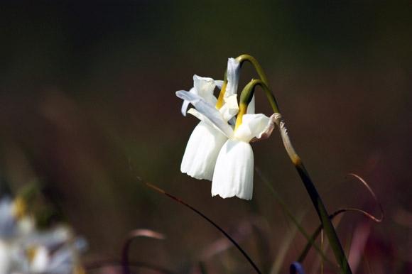 Le narcisse des Glénan