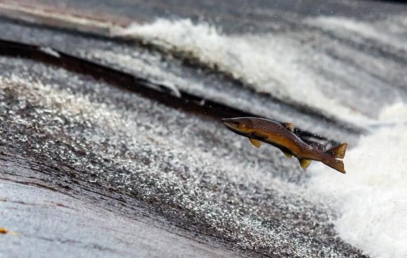 saut-saumon-atlantique