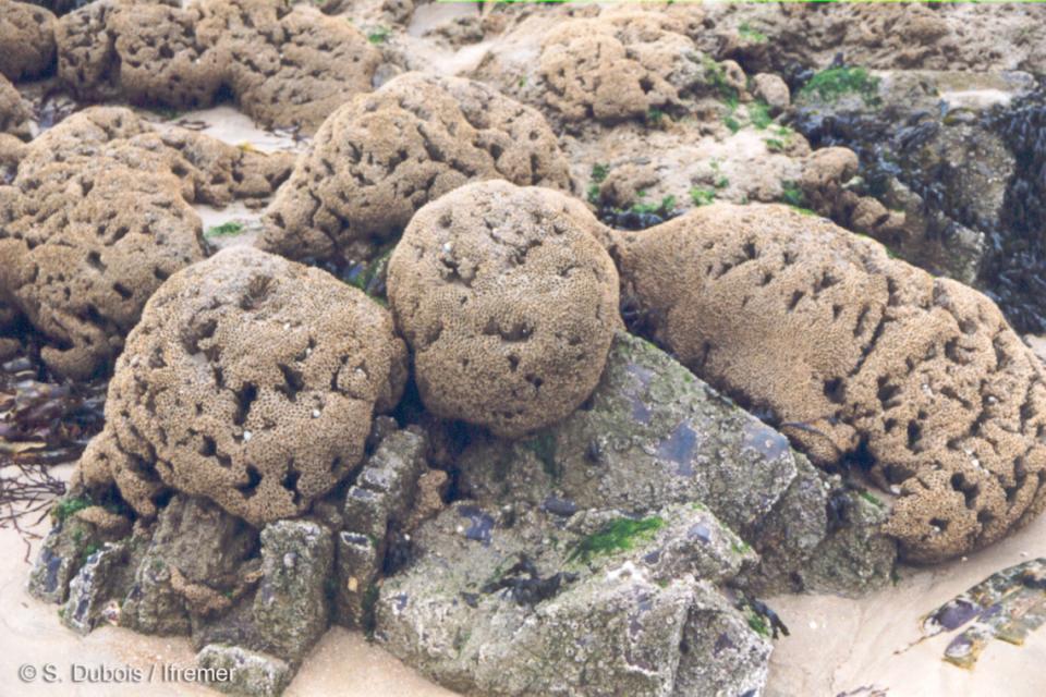 hermelles - ver marin - bioconstruction