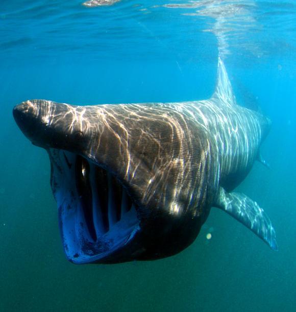 A. Rohr (APECS) - Requin pèlerin