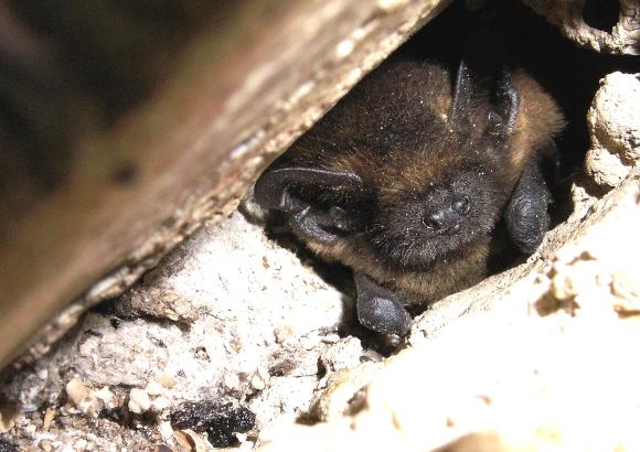 pipistrelle commune chez un particulier - philippe de Fernez